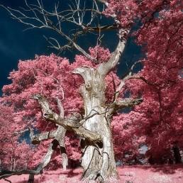 Träd i hjortparken i MariefredTrosa. Infrared foto
