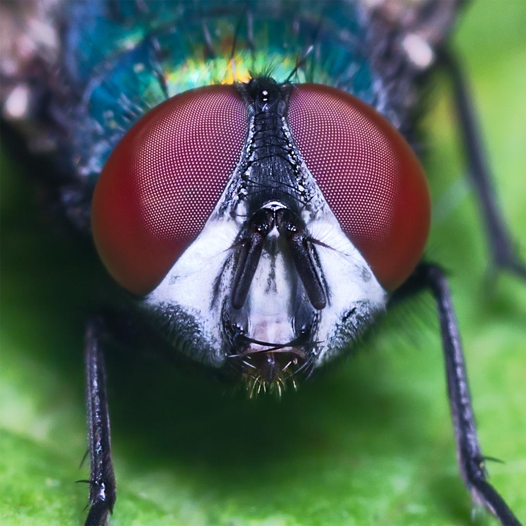 Macro på Spyfluga